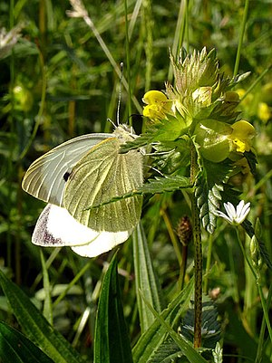 English: Large White Butterfly on Hay Rattle. ...