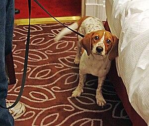 English: Bedbug sniffing Dog, New York