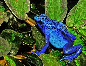 Blue Poison Dart Frog