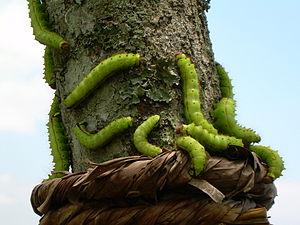 English: Muga Silkworms in a Som tree