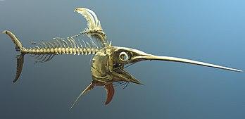 https://i2.wp.com/upload.wikimedia.org/wikipedia/commons/thumb/6/6f/Swordfish_skeleton.jpg/350px-Swordfish_skeleton.jpg