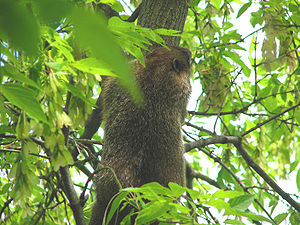 Woodchuck (Marmota monax) taking refuge in a t...