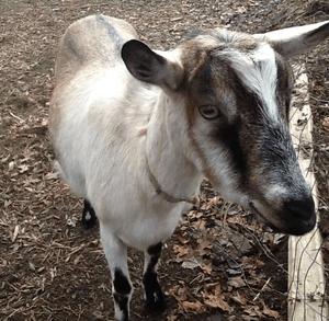 Wikipedia - Alpine Goat