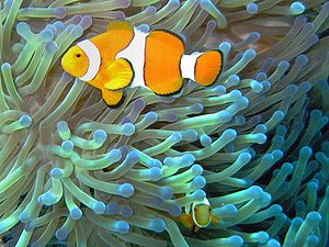 Common Clownfish (Amphiprion ocellaris) in the...