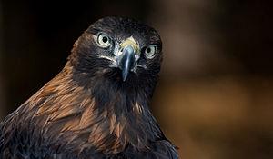 English: Golden eagle