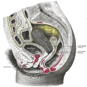 Sagittal section of the lower part of a female...
