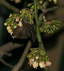 Codot barong (Cynopterus sphinx) mengunjungi bunga kapuk randu (Ceiba pentandra) di Kolkata, Benggala Barat, India.