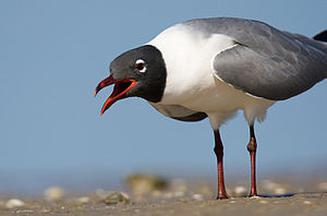 English: Laughing gull