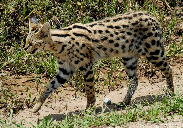 A Serval cat at Serengeti National Park, Tanzania, by Bob, 2007