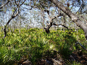 Saw Palmetto Forest Floor