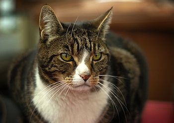 English: Colossus, a huge white-and-tabby cat.