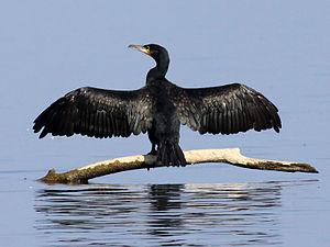 Cormorant (Phalacrocorax carbo) Photo taken on...