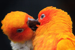 Two sun parakeets (aka sun conures) at Avifaun...