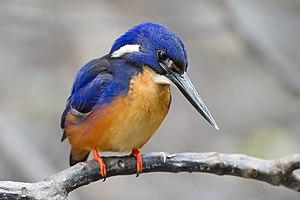 Azure Kingfisher (Alcedo azurea ruficollaris),...
