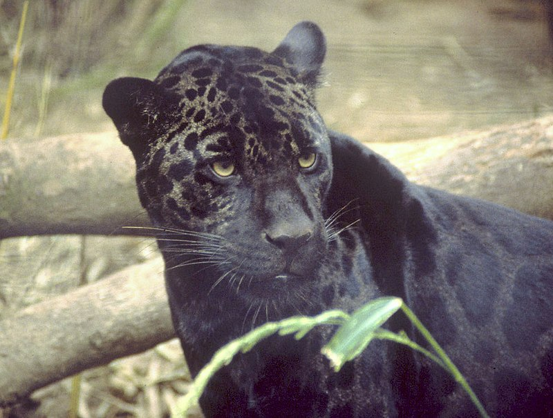 File:Black jaguar.jpg