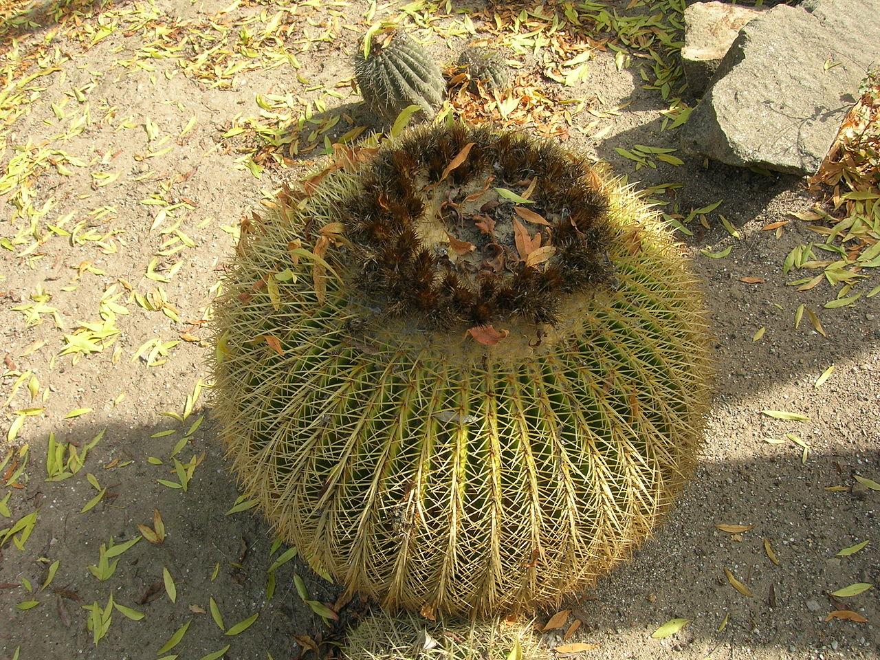 Image result for Barrel Cactus