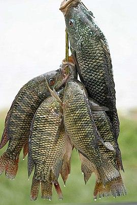 Oreochromis niloticus niloticus