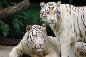 Singapore Zoological Gardens White Tigers.