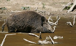 Description: The Wild Boar (Sus scrofa) is the...