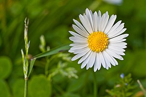 A single flower of Bellis perennis (Common Dai...