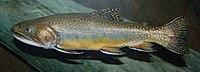 Brook Trout Salvelinus fontinalis 2900px.jpg