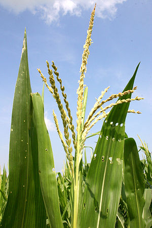 Corn male flower AKA corn tassel. The stamens ...