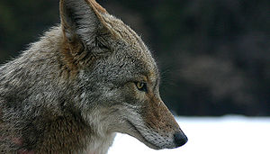 A coyote in Yosemite National Park, California...