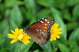 English: Danaus eresimus. Picture taken in lox...