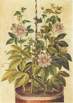 Gc2 passiflora incarnata