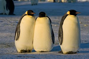 Emperors Penguins during the mating season (May).