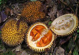 Lai, Durio kutejensis; dari Sungai Utik, Embaloh Hulu, Kapuas Hulu, Kalimantan Barat