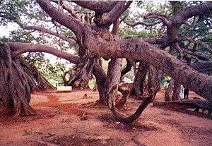 English: World largest banyan tree