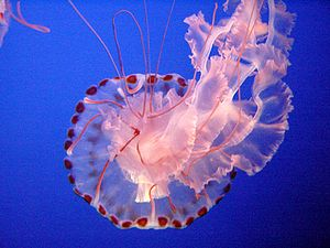 Sea Nettle Jelly, Jellyfish, Monterey Bay Aqua...