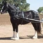 Shire Horse Wikipedia
