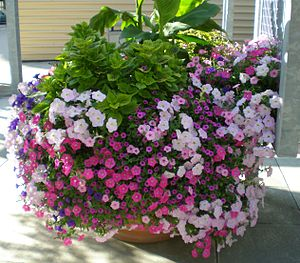 English: Floral arrangement of petunias in Col...