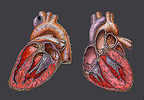 Heart, Herz, Coeur, Anatomic Design