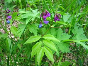 Lathyrus vernus in natural environment, Centra...