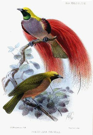 Goldie's Bird-of-paradise: Ornamented male abo...