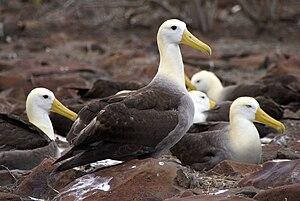 English: Waved Albatross (Phoebastria irrorata...