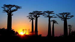 Avenue of the baobabs at sunrise