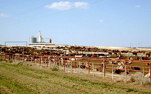 Feedlot in the Texas Panhandle