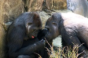 Gorillas and other higher primates are noted a...