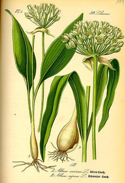 File:Illustration Allium ursinum0.jpg