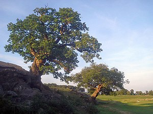 Oak trees in Bradgate Park This pair of oaks a...