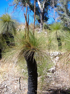 Xanthorrhoea in Yanchep National Park, Western...