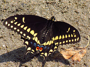 English: Black Swallowtail (Papilio polyxenes)...