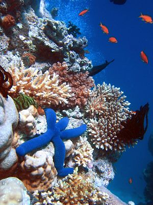 A Blue Starfish (Linckia laevigata) resting on...