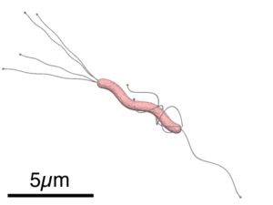 Structure of Helicobacter pylori without annot...