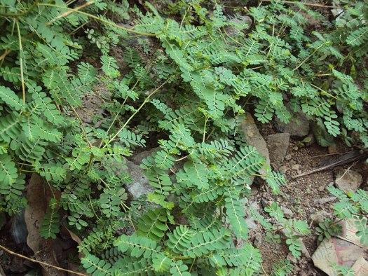 Phyllanthus niruri bahan untuk membuat stimuno untuk balita