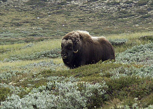 Muskox (Ovibos moschatus), picture taken on 30...